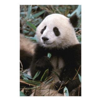 Asia, China, Chengdu. Giant Panda Sanctuary - 2 Photo Print