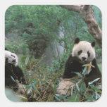 Asia, China, Chengdu. Giant Panda Sanctuary - 2 Square Sticker