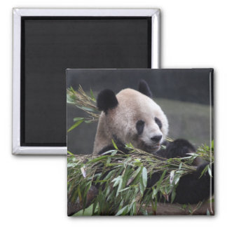 Asia, China Chongqing. Giant Panda at the 2 Magnet