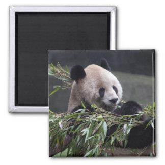 Asia, China Chongqing. Giant Panda at the 2 Square Magnet