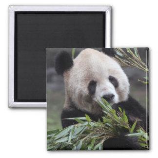 Asia, China Chongqing. Giant Panda at the Magnet