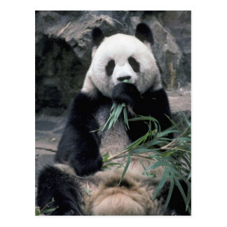 Asia China Chundu Giant panda Postcards