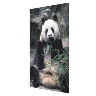 Asia, China, Chundu, Giant panda Stretched Canvas Prints