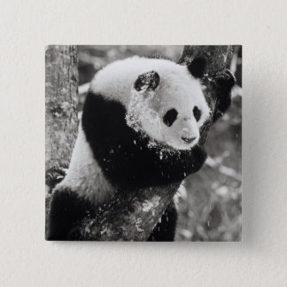 Asia, China, Sichuan Province. Giant Panda in 15 Cm Square Badge