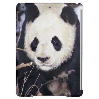 Asia, China, Sichuan Province. Giant Panda in 2