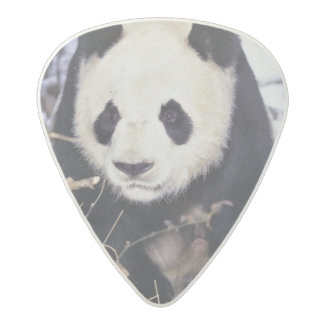 Asia, China, Sichuan Province. Giant Panda in 2 Acetal Guitar Pick