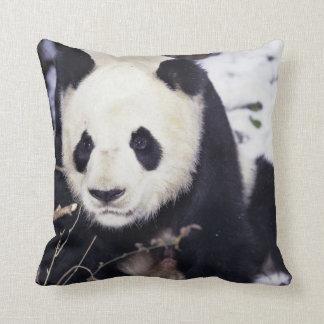 Asia, China, Sichuan Province. Giant Panda in 2 Cushion