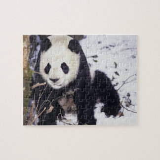 Asia, China, Sichuan Province. Giant Panda in 2 Jigsaw Puzzle