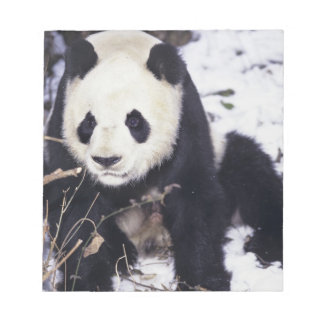 Asia, China, Sichuan Province. Giant Panda in 2 Notepad