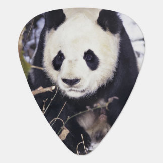Asia, China, Sichuan Province. Giant Panda in 2 Plectrum