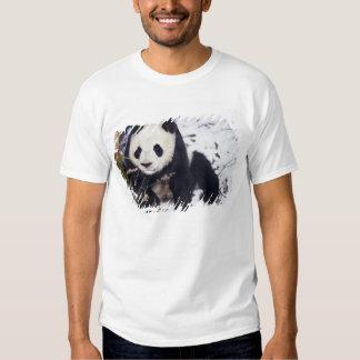 Asia, China, Sichuan Province. Giant Panda in 2 Shirts