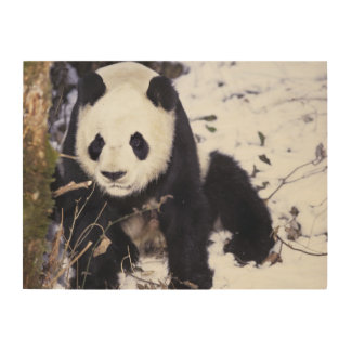 Asia, China, Sichuan Province. Giant Panda in 2 Wood Canvas