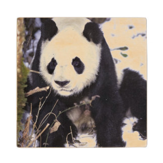Asia, China, Sichuan Province. Giant Panda in 2 Wood Coaster