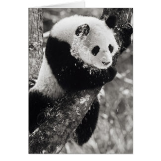 Asia, China, Sichuan Province. Giant Panda in Card