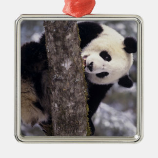Asia, China, Sichuan Province. Giant Panda in Christmas Ornament