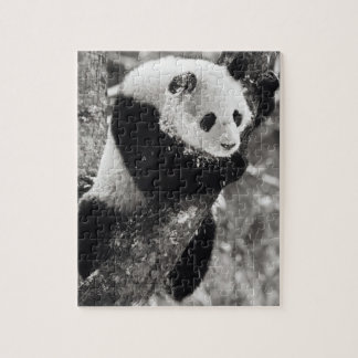 Asia, China, Sichuan Province. Giant Panda in Jigsaw Puzzle