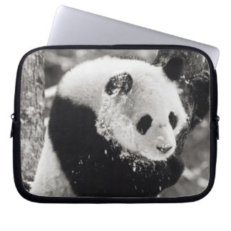 Asia, China, Sichuan Province. Giant Panda in Laptop Sleeve