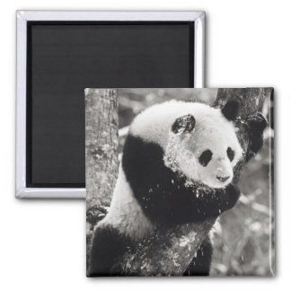 Asia, China, Sichuan Province. Giant Panda in Refrigerator Magnet