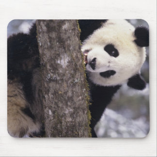 Asia, China, Sichuan Province. Giant Panda in Mouse Mat