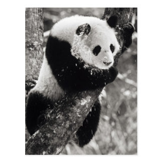 Asia, China, Sichuan Province. Giant Panda in Post Card
