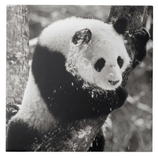 Asia, China, Sichuan Province. Giant Panda in Tile