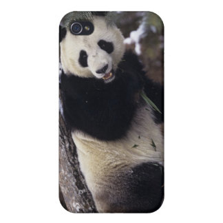 Asia, China, Sichuan Province. Giant Panda up a iPhone 4/4S Case