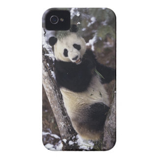 Asia, China, Sichuan Province. Giant Panda up a iPhone 4 Case