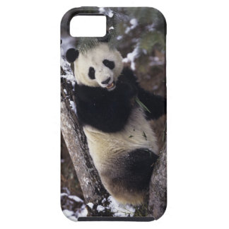 Asia, China, Sichuan Province. Giant Panda up a iPhone 5 Cases