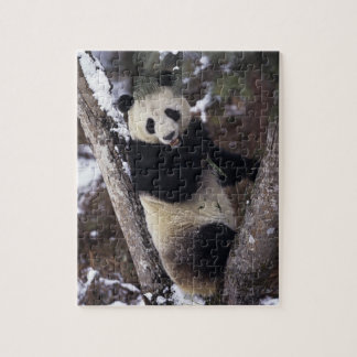 Asia, China, Sichuan Province. Giant Panda up a Jigsaw Puzzle