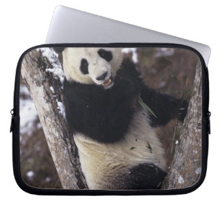 Asia, China, Sichuan Province. Giant Panda up a Laptop Sleeve