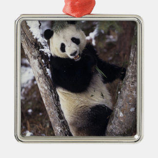 Asia, China, Sichuan Province. Giant Panda up a Silver-Colored Square Decoration