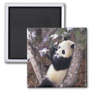 Asia, China, Sichuan Province. Giant Panda up Magnet