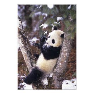 Asia, China, Sichuan Province. Giant Panda up Photo Print