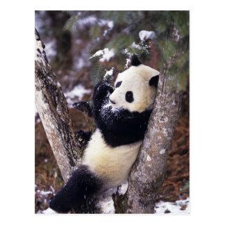 Asia, China, Sichuan Province. Giant Panda up Postcard