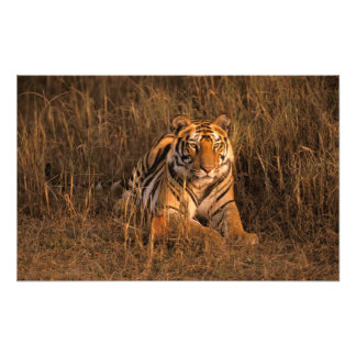 Asia, India, Bandhavgarh National Park. Tiger Photo Print
