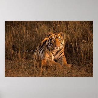 Asia, India, Bandhavgarh National Park. Tiger Poster