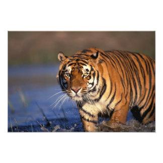 ASIA, India, Bengal Tiger Panthera tigris) Art Photo