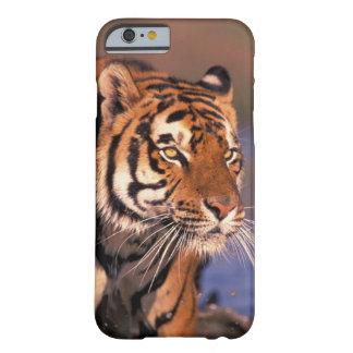 Asia, India, Bengal tiger Panthera tigris); Barely There iPhone 6 Case
