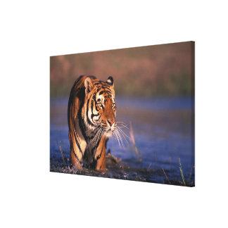 Asia, India, Bengal tiger Panthera tigris); Canvas Print