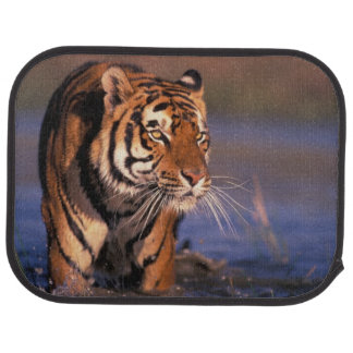 Asia, India, Bengal tiger Panthera tigris); Car Mat