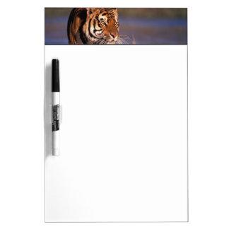 Asia, India, Bengal tiger Panthera tigris); Dry Erase Board