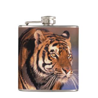 Asia, India, Bengal tiger Panthera tigris); Flasks