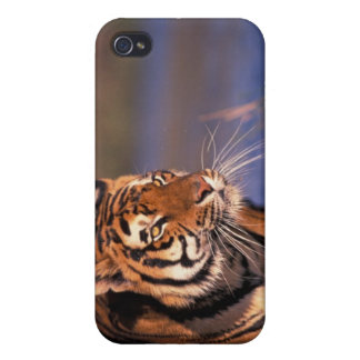 Asia, India, Bengal tiger Panthera tigris); iPhone 4/4S Cases