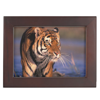 Asia, India, Bengal tiger Panthera tigris); Keepsake Box