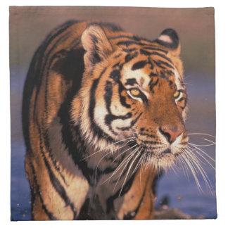 Asia, India, Bengal tiger Panthera tigris); Napkin