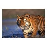 ASIA, India, Bengal Tiger Panthera tigris) Photo Art
