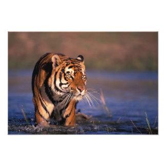 Asia, India, Bengal tiger Panthera tigris); Art Photo