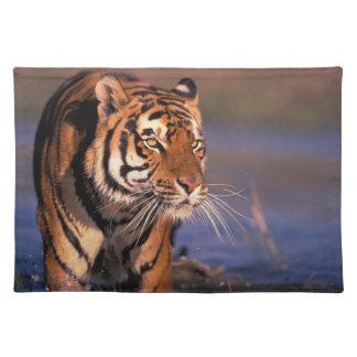 Asia, India, Bengal tiger Panthera tigris); Placemat