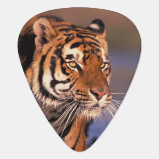 Asia, India, Bengal tiger Panthera tigris); Plectrum