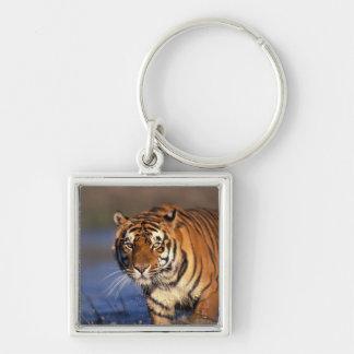 ASIA, India, Bengal Tiger Panthera tigris) Silver-Colored Square Key Ring